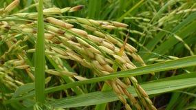 Reisfelder in Thailand Lizenzfreies Stockbild