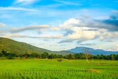 Reisfelder und blauer Himmel Stockfotos