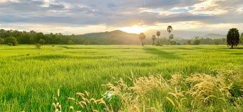 Reisfelder und ländlicher Lebensstil lizenzfreie stockfotos