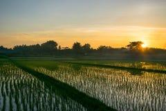 Reisfelder und -sonnenuntergang Lizenzfreies Stockfoto