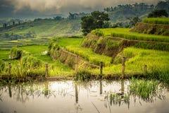 Reisfelder und -teich Stockfotografie