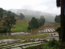 Reisfelder von Sri Lanka Hintergrund Stockbild