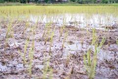 Reisfelder werden von den Landwirten beendet stockfoto