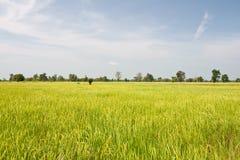 Reisfeldhintergrund Lizenzfreies Stockfoto