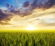 Reisfeldhintergrund stockbild
