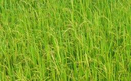 Reisfeldhintergrund Stockfotografie