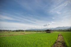 Reisfeldlandschaft Stockfotos