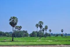 Reisfeldlandschaft mit Arengapalmebaum Stockbild