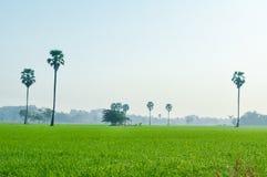 Reisfeldlandschaft mit Arengapalmebaum im Nebelhintergrund Lizenzfreie Stockfotos