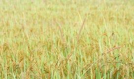 Reisfeldnahaufnahme in Sri Lanka Stockbilder