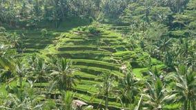 Reisfeldterrassen Bali Stockbild