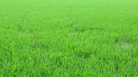 Reisgrün-Feldhintergrund Stockbild