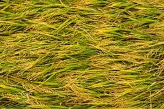 Reisgrashintergrund Lizenzfreies Stockfoto