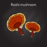 Reishi mushroom Ganoderma lucidum , superfood, medicinal plant. Hand drawn botanical vector illustration Stock Image