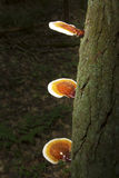 Reishi mushrooms on bark of hemlock, White Memorial, Litchfield, Royalty Free Stock Photography