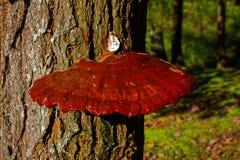 Reishi-Pilz, der auf einem hemlocktree wächst Lizenzfreies Stockbild