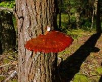 Reishi-Pilz Gandoderma Tsugae, das auf einem Schierlings-Baum wächst Stockfotografie