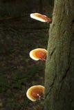 Reishi plocka svamp på skäll av odörten, den vita minnesmärken, Litchfield, Royaltyfri Fotografi