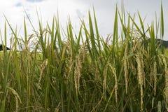 Reiskorn auf Reispflanzen in den Reispaddys Stockbild