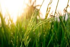 Reiskorn mit Tautropfen und Insektenplage Stockfoto