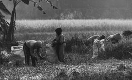 Reislandwirt Stockfoto