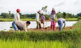 Reislandwirte arbeiten auf den Gebieten in Kambodscha Lizenzfreie Stockbilder
