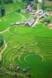 Reispaddy Stockbilder
