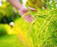 Reispaddy im Ackerland im Freien Lizenzfreies Stockbild