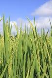 Reispaddy im Hintergrundhimmel Lizenzfreie Stockfotos