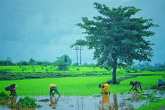 Reispaddy in Indien lizenzfreie stockbilder