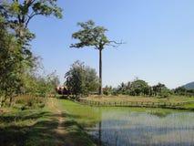 Reispaddy in Kambodscha Lizenzfreies Stockbild