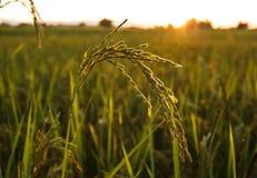 Reispaddy mit Morgensonnenlicht Lizenzfreie Stockbilder