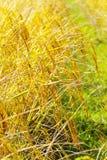 Reispaddy und Unschärfereis Stockfotografie