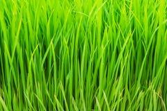 Reispaddyhintergrund Stockbilder