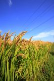 Reispaddys Stockbild