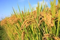 Reispaddys Stockfoto