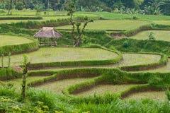 Reispaddys lizenzfreies stockbild