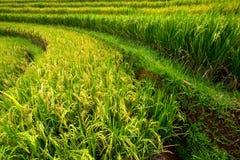 Reispaddys auf Bali-Insel, Indonesien Lizenzfreies Stockfoto