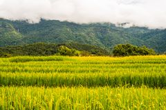 Reispaddys auf Hoch 36 Stockbild