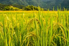 Reispaddys auf Hoch 34 Stockfotos