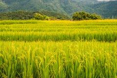 Reispaddys auf Hoch 35 Stockfoto