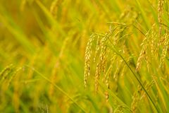 Reispaddys auf Hoch 6 Stockfotografie