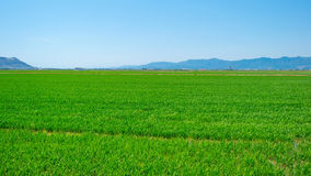 Reispaddys nahe Valencia Stockfoto