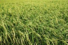 Reispaddys in Thailand Lizenzfreie Stockbilder