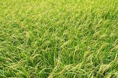 Reispaddys in Thailand Lizenzfreies Stockbild