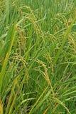 Reispaddys in Thailand Lizenzfreie Stockfotos