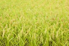 Reispflanze Stockbilder