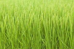 Reispflanze Stockbild