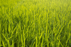 Reispflanze Lizenzfreie Stockfotografie