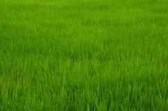 Reispflanze Lizenzfreie Stockfotos